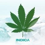 Une brève vue d'ensemble des espèces de cannabis