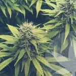 Qu'est-ce que la famille des cannabinoïdes