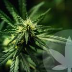 Qu'est-ce que le THC (tétrahydrocannabinol) ?